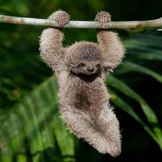 Sloth hanging out in the tropical rainforest Photo by wildlife_. Animals And Pets, Baby Animals, Funny Animals, Cute Animals, Wild Animals, Fun Facts About Sloths, Cute Baby Sloths, Three Toed Sloth, Destination Voyage