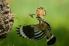 Hoopoe by Peter Racz / 2017 National Geographic Travel Photographer of the Year Entries | National Geographic