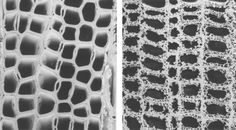 Soft rot. Scanning electron micrographs of transverse sections from sound wood of Cedar (C. libani) (left) and decayed wood showing advanced stages of soft rot (right). Cavities formed within the S2 layer of the secondary cell wall are diagnostic of soft-rot attack. Tracheids shown in the micrographs are ≈50 μm in width.  http://www.pnas.org/content/98/23/13346.figures-only
