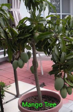 Mango fruits have sweet smell with single seed in it. If you have space then you can enjoy growing your own mango fruits. Potted Fruit Trees, Growing Fruit Trees, Citrus Trees, Fruit Plants, Fruit Garden, Growing Plants, Trees To Plant, Dwarf Fruit Trees, Container Gardening Vegetables