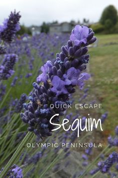Get away for the weekend to Sequim, where fields of lavender, a waterfront cabin and the world's longest sand spit await. National Park Lodges, National Parks, Beach Trip, Beach Travel, Olympic Peninsula, Okinawa Japan, Chicago Restaurants, Whale Watching, Foodie Travel