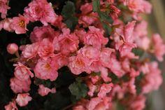 Breeder Innovation - Beekenkamp - Begonia 'Summerglory'