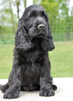 English Cocker Spaniel Pup ~ Classic Look Black Cocker Spaniel, American Cocker Spaniel, Cocker Spaniel Puppies, Spaniel Breeds, Dog Breeds, Pet Dogs, Dogs And Puppies, Doggies, Corgi Puppies