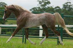 Monarch Park Cimarron, flaxen chestnut rabicano sabino Arabian stallion.