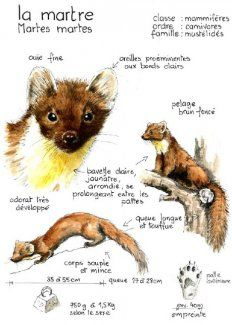 Curious Creatures, Woodland Creatures, Animal Sketches, Animal Drawings, Nature Sketch, Sketch Journal, Nature Journal, Art Studies, Forest Animals