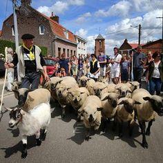 À Berthen en Flandre le lundi de Pentecôte est désormais synonyme de #transhumance. Et c'est même la plus petite de France. Les bergers sont habillés en laine du coin et porte un foulard jaune couleur traditionnelle de la Flandre. Photo Pib #lavoixdunord #tradition #flandre #Vlaanderen #traditie #moutons #nord