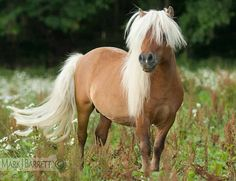 Miniature Horse Stallion by © Mark J. Barrett via markjbarrett.ifp3.com