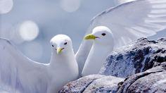 pelicans - Pesquisa Google
