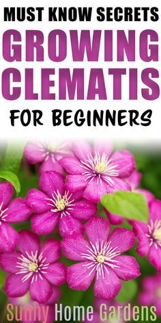 How to grow clematis. Great tips ideas for care and planting clematis vine flowers. This flowering vine is perfect for growing on a trellis and in your cottage garden. maintenance tips Evergreen Clematis, White Clematis, Sweet Autumn Clematis, Purple Clematis, Clematis Flower, Perennial Flowering Vines, Flower Vines, Clematis Care, Clematis Trellis