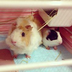 #Connie #piggy #guineapiggy #mypet #cute #cuteanimals #cuties