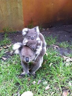 The 29 Cutest Koalas That Ever Roamed The Earth - Funny animal pictures Cute Funny Animals, Cute Baby Animals, Animals And Pets, Koala Marsupial, The Wombats, Australia Animals, Tier Fotos, Cute Animal Pictures, Wild Life