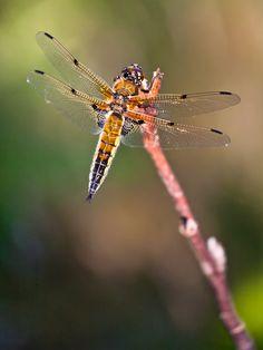 Dragonfly Flickr