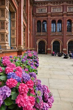 Hydrangeas line the inner courtyard at the Victoria & Albert Museum in South Kensington, London