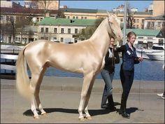 türkische golden horse - achal-tekkiner Vektorgrafik