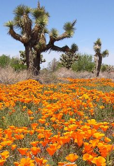 The wildflower bloom in Joshua Tree National Park is awesome - click for travel tips.
