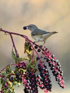 Little bird enjoying fall pokeberries