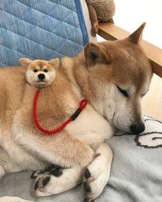 しかし、よく寝る柴三郎先生 #柴 #shiba #柴犬 #shibainu #犬ぽんぽん #動物ぽんぽん #起きようよ柴くん #天気もいいよ 柴くん、ぽんぽん柴ちゃんがお散歩行きたいって。