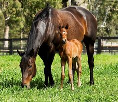 Black Caviar with her now 5 day old filly. Photo: Georgina Lomax.