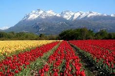 Fields of Tulips in Argentina What A Wonderful World, Beautiful World, Beautiful Places, Amazing Places, Chile, Visit Argentina, Tulip Fields, Valspar, Nature Images