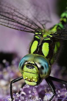 Hawker dragonfly came back #6