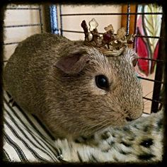 Marigold the guinea pig, in her crown.