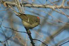 "Lyle Stuehrenberg: ""Ruby Crowned Kinglet-Canon City, CO"""