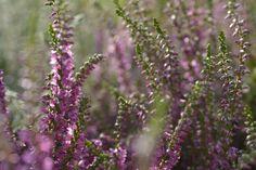 Kwitnące wrzosy - odmiany o różnych kolorach kwiatów i liści.