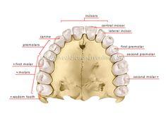 human denture image