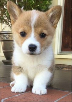 """Visit our website for more information on """"corgi dogs"""". It is a great place to learn more. Cute Corgi Puppy, Corgi Dog, Baby Corgi, Pomeranian Puppy, Cute Baby Dogs, Cute Dogs And Puppies, Cute Little Puppies, Cute Little Animals, Cute Funny Animals"""