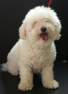 bichon frise cross poodle puppies - Google Search