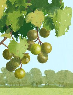 Muscadine grape.  Details of this work will be made later.