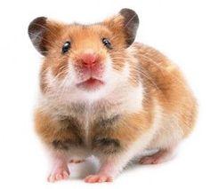 Características del hámster, es importante conocer a estos roedores tradicionales como mascota, quién no ha tenido o ha pensado tener alguno alguna vez, sin duda es clásico que requiere mucha atención y mimo.