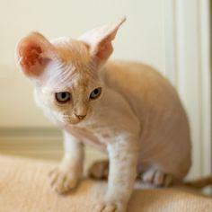 naked devon rex kitten. There were a couple at the animal hospital and they were the sweetest and most laid back out of the bunch!