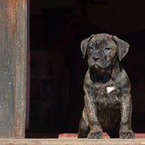 Puppy presa canario female