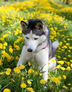 Siberian Husky in Suttons Bay Cherry Orchard with the Dandelions. #SiberianHusky