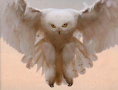 Arctic snow owl makes rare mass migration Flamingo Bird, Owl Bird, Pet Birds, Lechuza Tattoo, Mass Migration, Bird Barn, Dungeons And Dragons Homebrew, Rare Animals, Snowy Owl