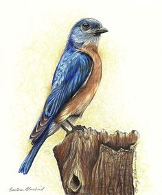 Proud Bluebird ~  Prismacolor Pencil