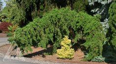 Kigi Nursery - Pinus banksiana ' Uncle Fogy ' Contorted Weeping Jack Pine, $15.00 (http://www.kiginursery.com/pines/pinus-banksiana-uncle-fogy-contorted-weeping-jack-pine/)
