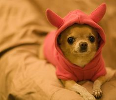These innocent looking cute Chihuahua puppies are surely going to melt your heart. Share these cute Chihuahua puppy pictures with your friends Chihuahua Breeds, Chihuahua Love, Chihuahua Puppies, Cute Puppies, Dogs And Puppies, Cute Dogs, Teacup Chihuahua, Doggies, Dog Humor