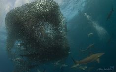 Sardine run and sharks, Africa Plan Your Trip, Small Towns, South Africa, Coast, Adventure, Landscape, Alphabetical Order, Nature, Sharks