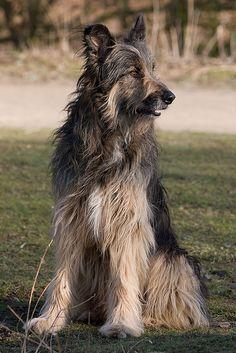 German Shepherd x Irish Wolfhound (a Wookiee?!)
