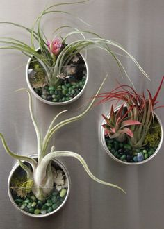 Plant Fridge Magnets Terrarium Care Air plants require little maintenance. Once a week, simply remove the magnet from the fridge and gently remove the air plant from the terrarium. Mist it with water or run it under the faucet. Then allow it to dry on the Small Succulents, Succulents Garden, Air Plants, Indoor Plants, Suculentas Diy, Air Plant Display, Plant Decor, Decoration Plante, Home Decoration