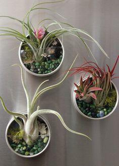 DIY Living Fridge Magnets --> http://www.hgtvgardens.com/crafts/make-air-plant-terrarium-magnets?soc=pinterest