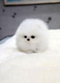 White Teacup Pomeranian fluff ball