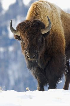 Image detail for -An American Bison, or buffalo, in the winter of Yellowstone…