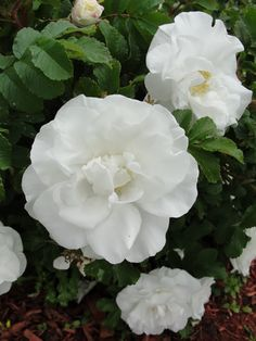 Perhaps this is a sister rose to Therese Bugnet, a beautiful lilac pink Rugosa, however, this white one is more easily accommodated in the garden. Flower Images, Flower Pictures, White Roses, White Flowers, Beautiful Roses, Beautiful Flowers, Rosa Coral, Perennial Flowering Plants, Yellow Roses