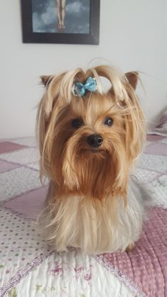Discover The Brave Yorkshire Terrier Dogs Exercise Needs Yorky Terrier, Yorshire Terrier, I Love Dogs, Cute Dogs, Top Dog Breeds, Yorkshire Terrier Puppies, Yorkie Puppy, Lap Dogs, Gif Animé