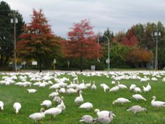 Snow geese in Richmond, BC Snow Goose, Dolores Park, Travel, Viajes, Destinations, Traveling, Trips