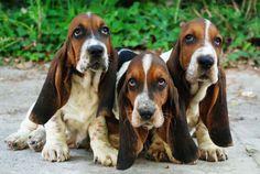 wallpapers basset hound - Buscar con Google