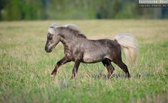 dapple gray pony - miniature horse - Equine Photography by Ekaterina Druz